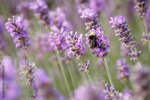 Laverder flower closeup in purple lavender field - 248326350