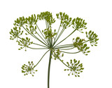 fresh dill flowers on white background - 248329904