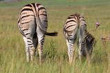 Backside of two plains zebra