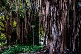 Bäume im Park von Havanna Kuba,
