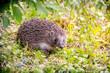 Leinwandbild Motiv Dwraf hedgehog on field, Young hedgehog on timber with eye contact, Sunset and soft light, Bokeo background.