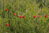 Mohn, Margarite, Kornblumen im Weizenfeld