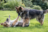 Two big dogs play fighting on grass in a garden