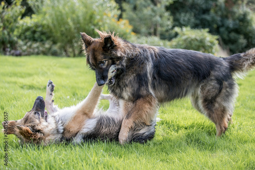 fototapeta na ścianę Two big dogs play fighting on grass in a garden