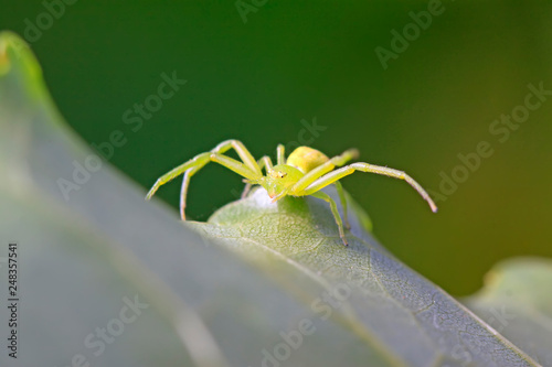 Foto Murales crab spider on plant