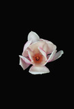White magnolia flower with pink shade isolated