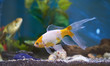 Goldfish in blue aquarium water - 248368585