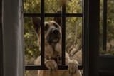 Perro pastor alemán mirando por dentro de la ventana - 248371113