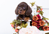 dachshund puppy brown tan color and flowers roses