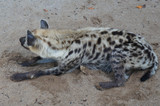 Wild hyena is released inside the man-made cage. Cages are designed like the original habitat of these animals.