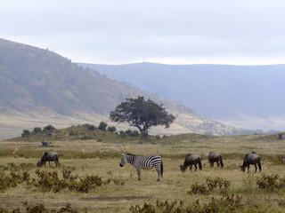 Zebras und Gnus in der Savanne © gummibärchen