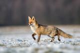 Fototapeta Fototapety ze zwierzętami  - Fox (Vulpes vulpes) © kwasny221