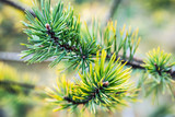 pine branches in autumn colors of needles. Nature and plants of autumn forest - 248406794