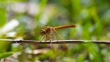 Yellow Dragon Fly - 248412342