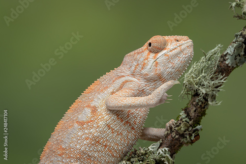 A half length portrait of a chameleon climbing up a branch with a plain green background