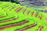 bright green rice fields during summer around Cat Cat village, Sa Pa, Lao Cai, Vietnam
