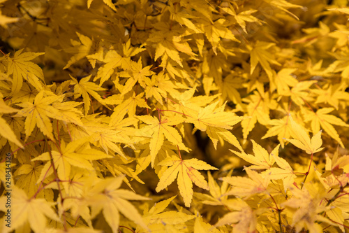 Acer Palmatum Red Wood Leaves With Autumn Colors Buy Photos Ap
