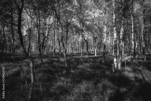 Birkenwald im Moor in einer Detailaufnahme - schwarz weiß - 248436383