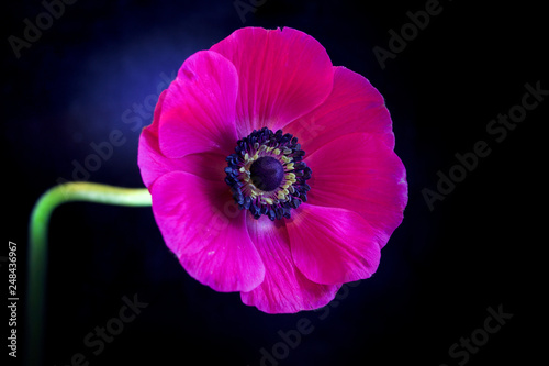 Foto Murales purple anemone flower isolated on black background