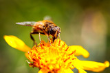 Bee collects nectar from flower crepis alpina - 248437101