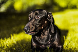 funny adorable dachshund close up portrait
