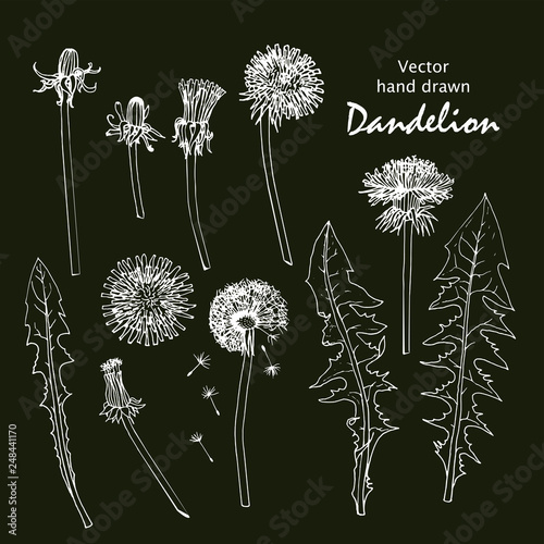 Set of white sketches of dandelions. - 248441170