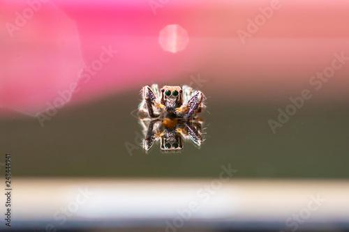 jumping spider macro - 248444941