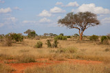 Fototapeta Sawanna - A big tree in the savannah between another plants © 25ehaag6
