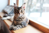Fototapeta Zwierzęta - portrait of a beautiful adorable young maine coon kitten cat sitting on a window sill   © k