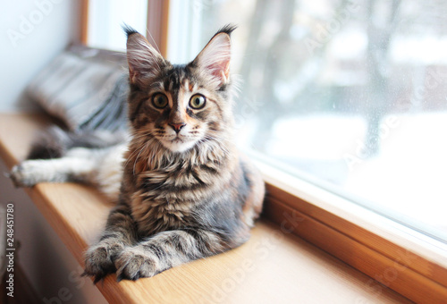 portrait of a beautiful adorable young maine coon kitten cat sitting on a window sill   - 248451780