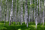 Birch Grove on a sunny summer day
