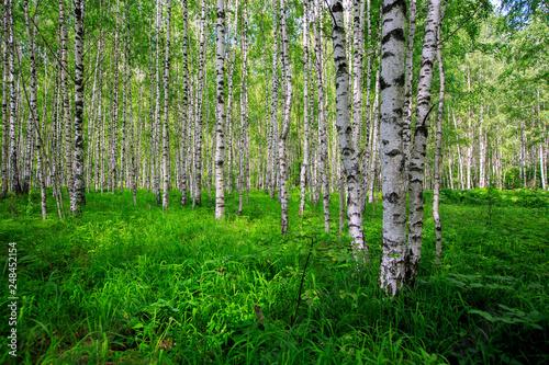 Birch Grove on a sunny summer day