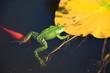 Grüner Frosch schwimmt in einem Teich mit Seerosenblatt und Goldfisch