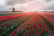 Tulips and windmills in Netherlands. Northern Amsterdam