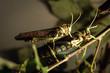 two green praying mantis loving