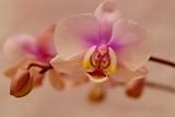 różowa orchidea na białym tle