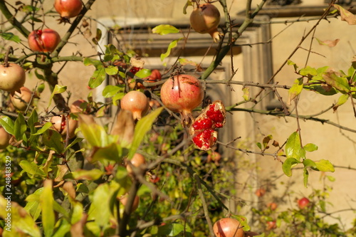 Foto Murales Fruits on a tree