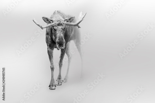 Moose american or canadian wildlife animals white edition