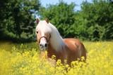 beautiful haflinger horse is standing in a rape seed field - 248489170