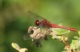 A Ruddy Darter Dragonfly (Sympetrum sanguineum) perched on a plant. - 248499544
