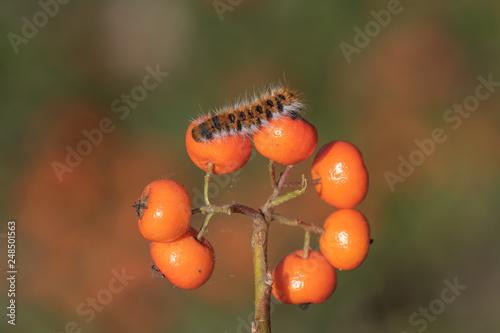 Foto Murales caterpillar on leaf