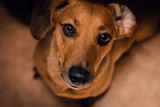 Portrait of Dachshund dog