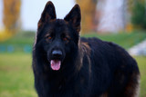 Dog breed German Shepherd