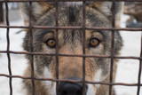 Close-up wolf.