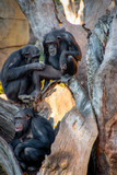 Family of chimpanzees resting on a tree.