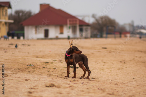 doberman pinscher sea puppy