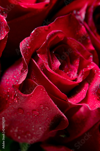 red rose with water drops - 248514339
