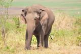 wild elephant in sri lanka - 248516131