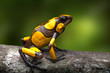 harlequin poison dart frog, Oophaga histrionica. A small poisonous rain forest animal living in the jungle of Colombia