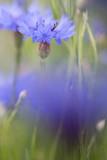 Purple meadow wild flower in soft focus shallow depth, Centaurea jacea or brown knapweed - 248539757